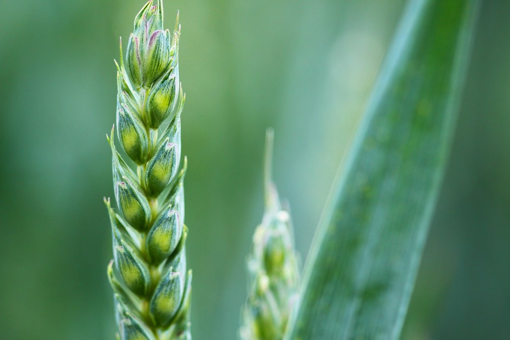 Low-allergen wheat varieties in development bring good news for the wheat-sensitive