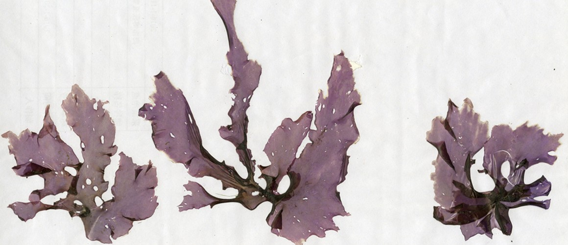 New species of seaweed and algae discovered
