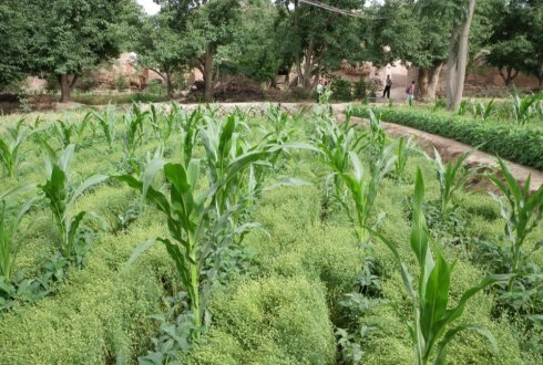 Intercropping increases agricultural yield while reducing the use of fertilisers