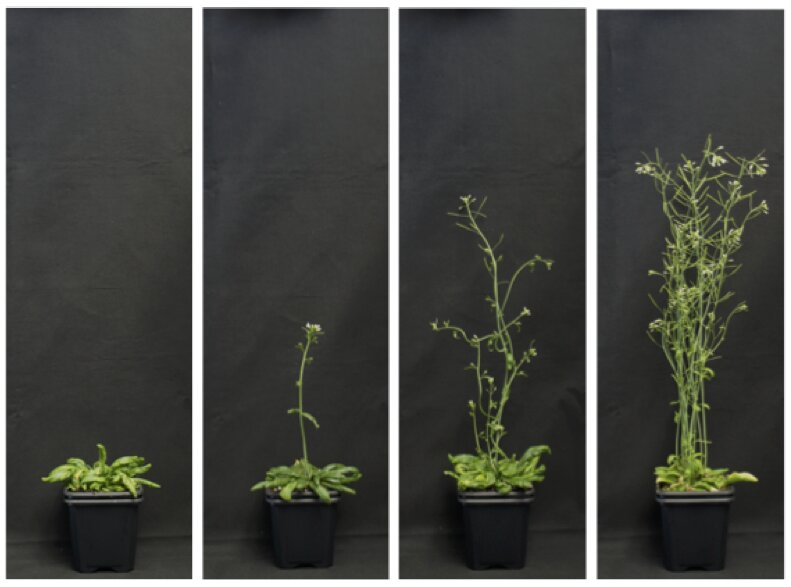 Researchers develop gene regulation strategies for plants