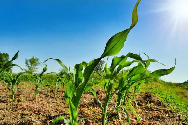 Research underscores importance of global surveillance of plant pathogens
