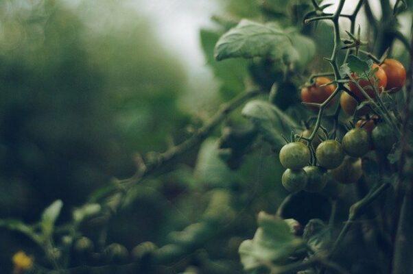"""You Say Tomato, I Say Genomics"": Genome Sequences for Two Wild Tomato Ancestors"