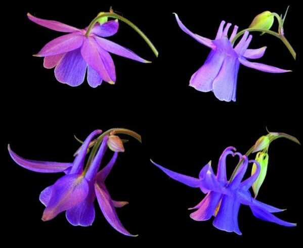 Gene controlling development of nectar spurs in Aquilegia