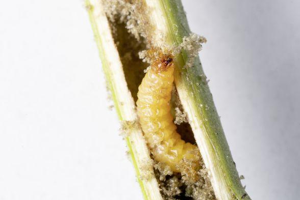 Strigolactones increase tolerance to weevils in tobacco plants