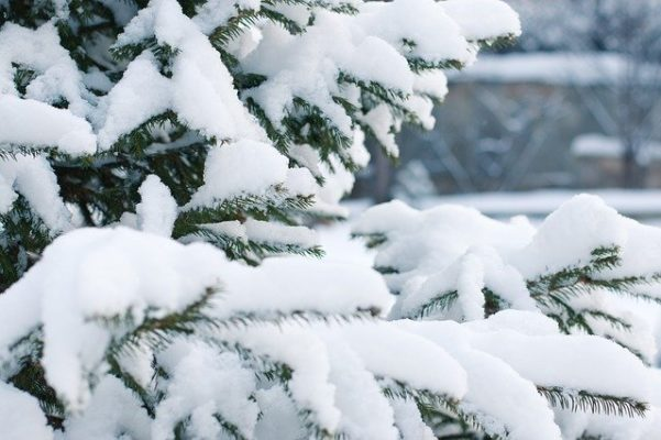 Researchers Discover Novel Molecular Mechanism That Enables Conifers to Adapt to Winter