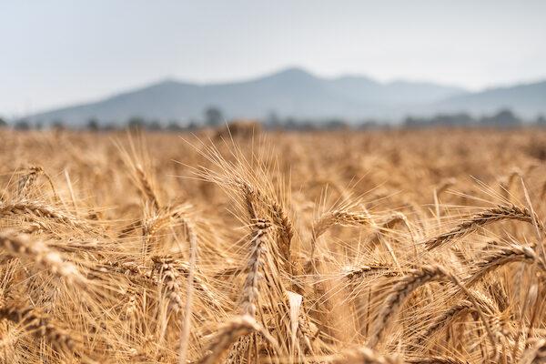 Massive-scale genomic study reveals wheat diversity for crop improvement