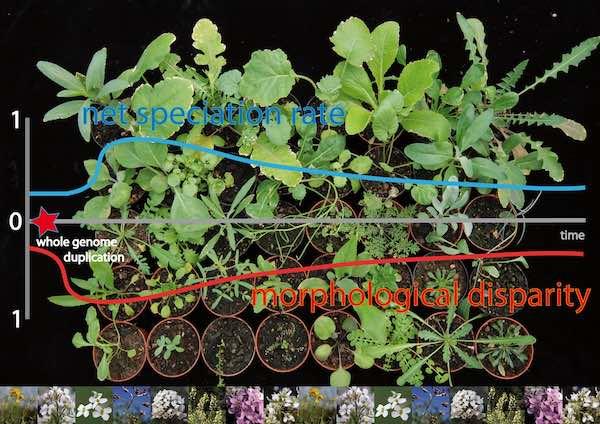 Genome duplications as evolutionary adaptation strategy
