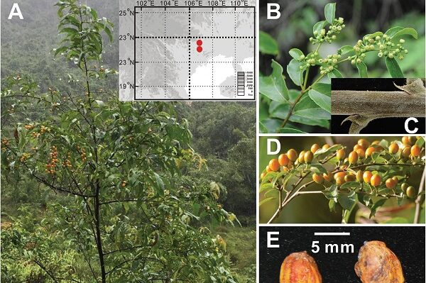 A new evergreen species of Rhamnaceae found in Guangxi