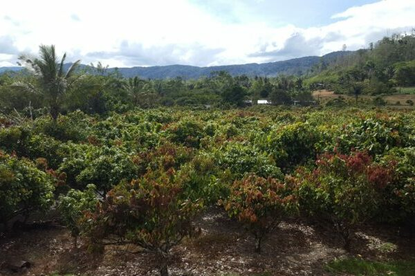 Hand pollination increases cocoa yield and farmer income