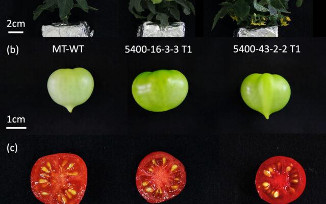 Tweaking carotenoid genes helps tomatoes bring their a-game