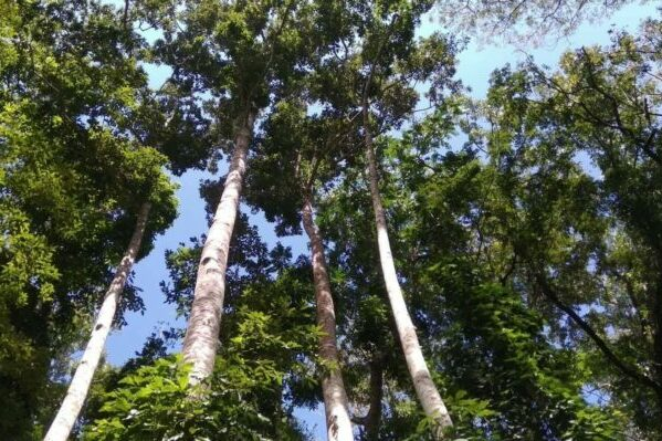 Dipterocarpaceae trees threatened by deforestation and climate change
