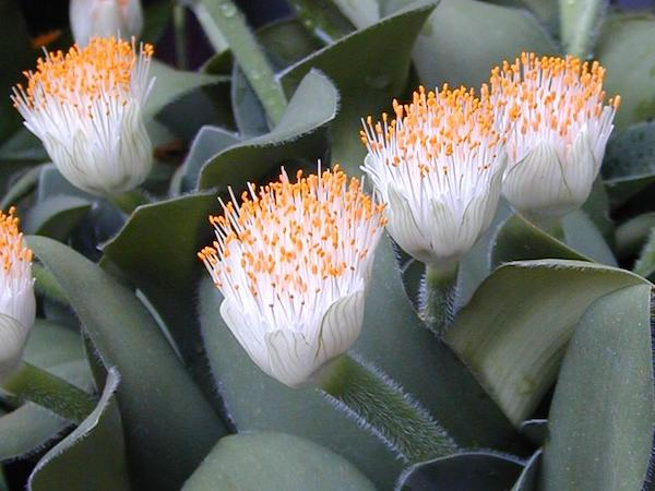 New variety of paintbrush lily developed by a novel plant tissue culture technique