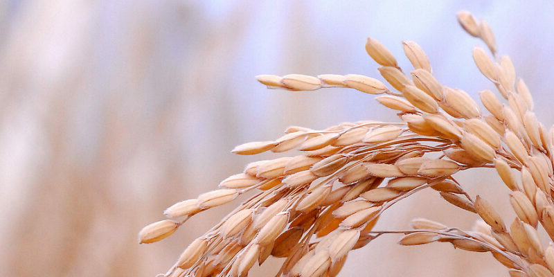 Resistant rice plants: researchers identify bacterium that protects rice plants against diseases