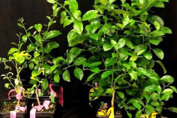 Untreated citrus plants on the left, as compared to treated ones on the right. (Hailing Jin/UCR)