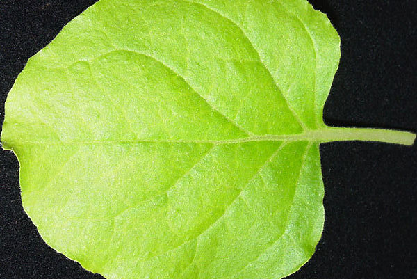 Nicotiana benthamiana leaf