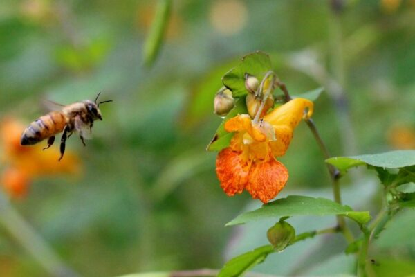 Bee flying towards a Cape jewelweed (Impatiens capensis) flower