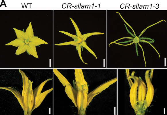 Floral organs phenotypes of the tomato wild-type and CRISPR-edited CR-Sllam1 mutant. (A) Phenotypes of floral organs in the wild-type (WT) and two mutant lines. Narrower and unfused petals occur in the mutants.