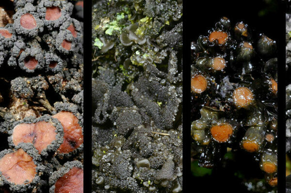Dozens of new lichen spe­cies dis­covered in East African moun­tain forests