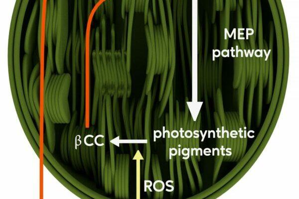 schematic chloroplast