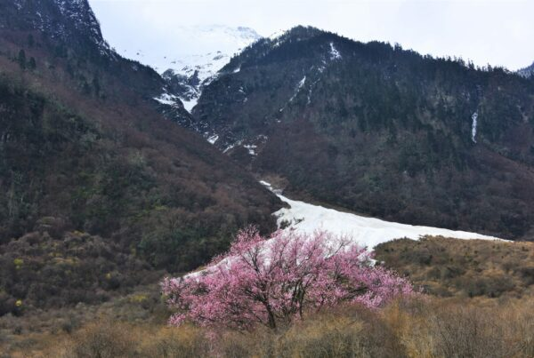 Prunus-mira-near-the-glacier-at-Tibet