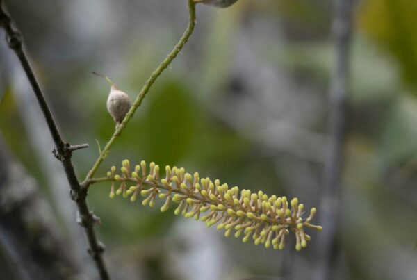 Macadamia jansenii raceme - Photo (C) Professor Bruce Topp, University of Queensland.