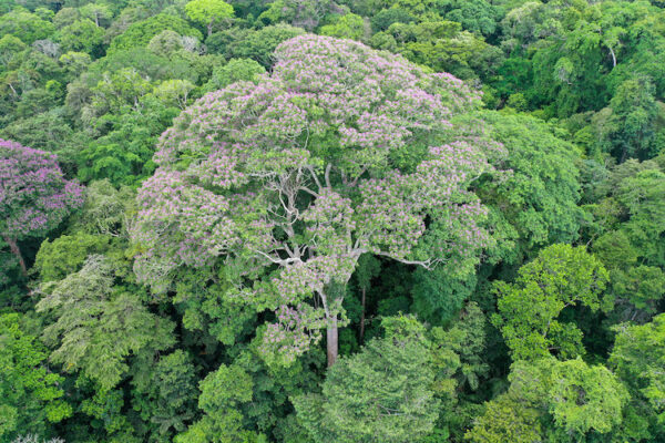 How will the biggest tropical trees respond to climate change?