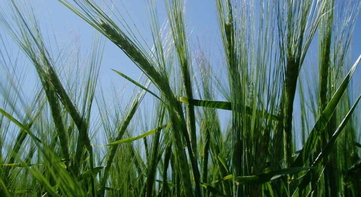 Researchers show new holistic approach to genetics and plant breeding