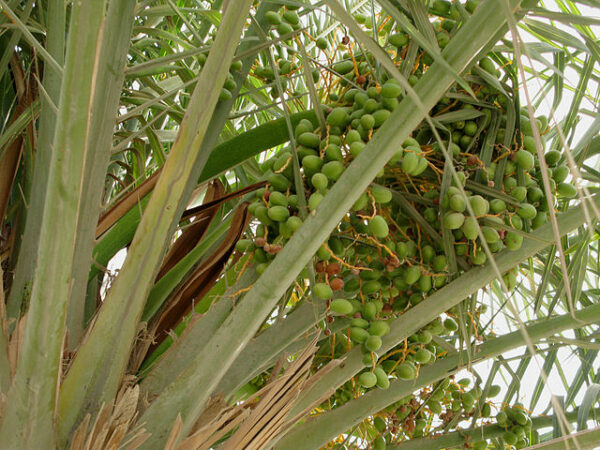 Sequenced genome of extinct date palms germinated from 2,000 year-old seeds