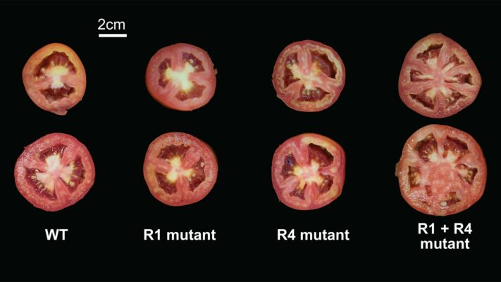 For tomato genes, one plus one doesn't always make two