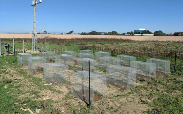 Plant consumers play unexpectedly large role in the evolution of seedling success