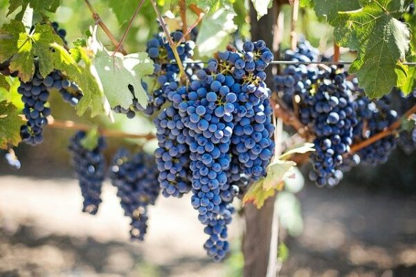 Grape genetics research reveals what makes the perfect flower