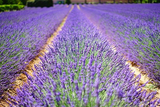Terpen-tales: The mystery behind the unique fragrance of the lovely lavender