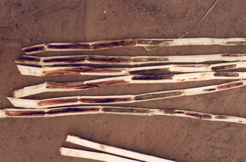 Study effects paradigm shift in the understanding of how red rot attacks sugarcane
