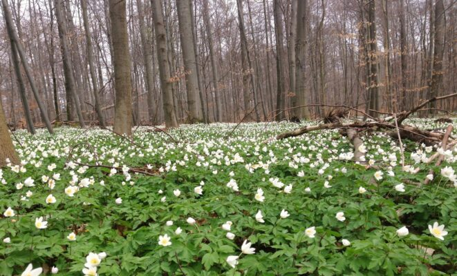 Forest use changes life cycles of wildflowers