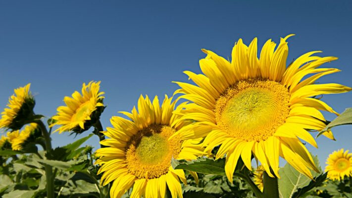 Why Sunflowers Face East
