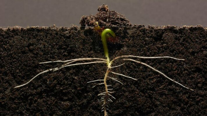 Plant roots and animals embryos rely on the same chemical for successful development